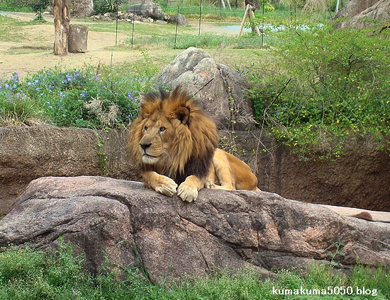 ライオン_251