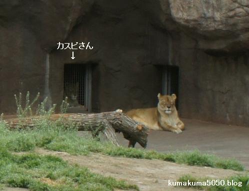 ライオン_259
