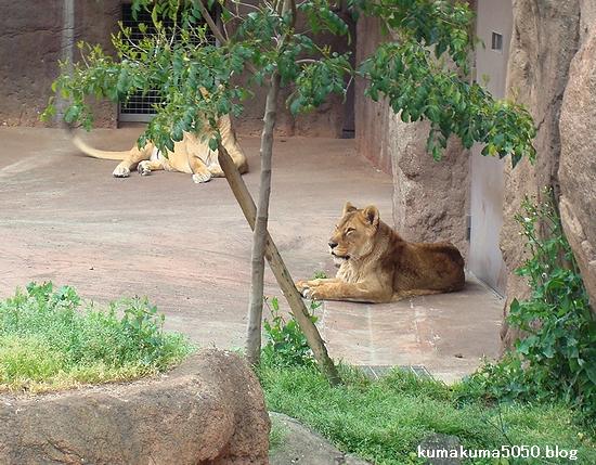 ライオン_260