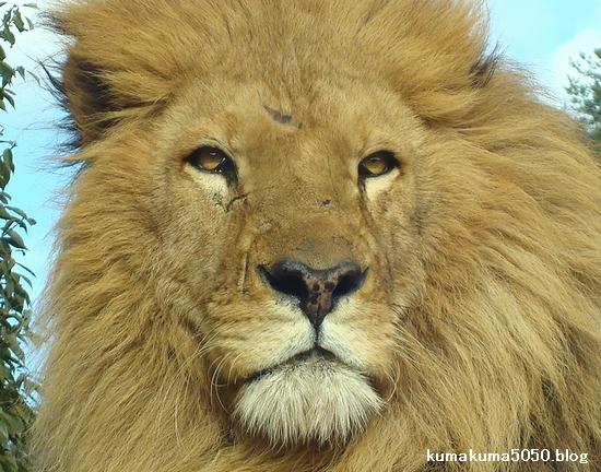 ライオン_271