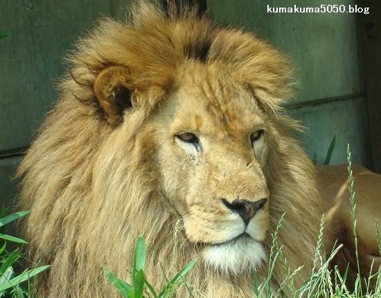 ライオン_270
