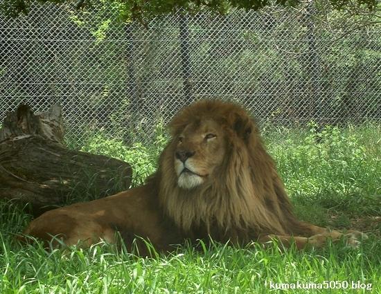 ライオン_269
