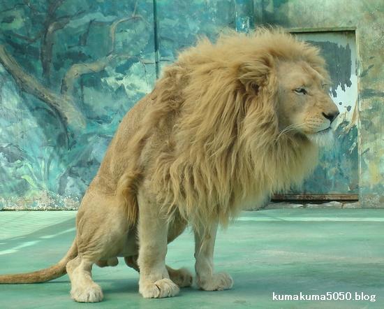 ホワイトライオン_32