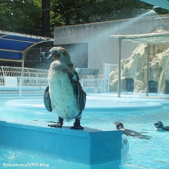 フンボルトペンギン_30