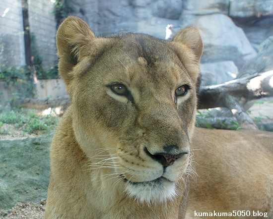 ライオン_300
