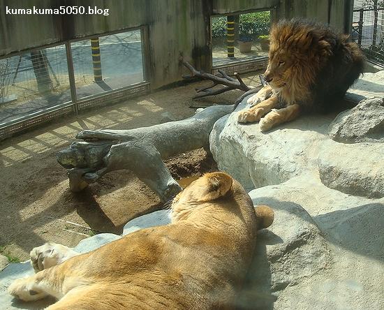 ライオン_205