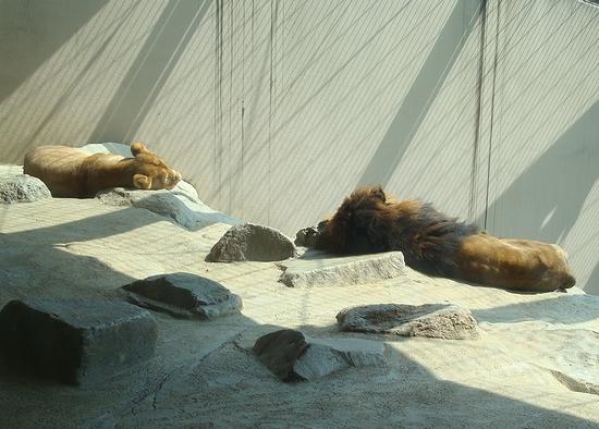ライオン_204