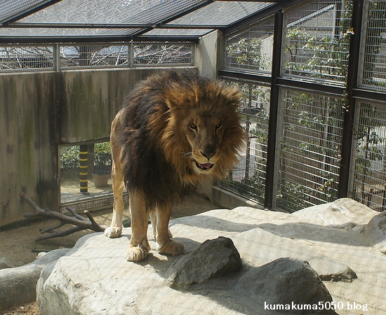 ライオン_207