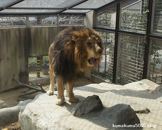 ライオン_206