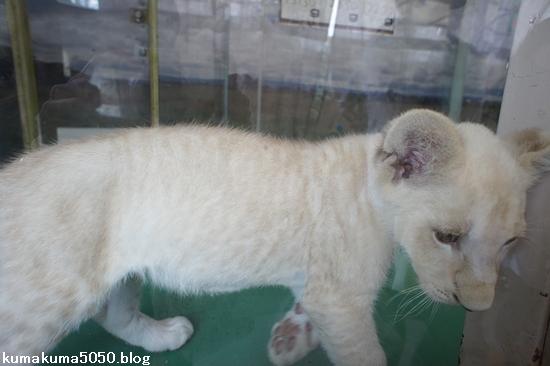 ホワイトライオンの赤ちゃん_1
