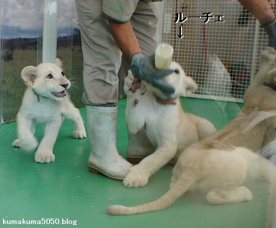ホワイトライオンの赤ちゃん_10