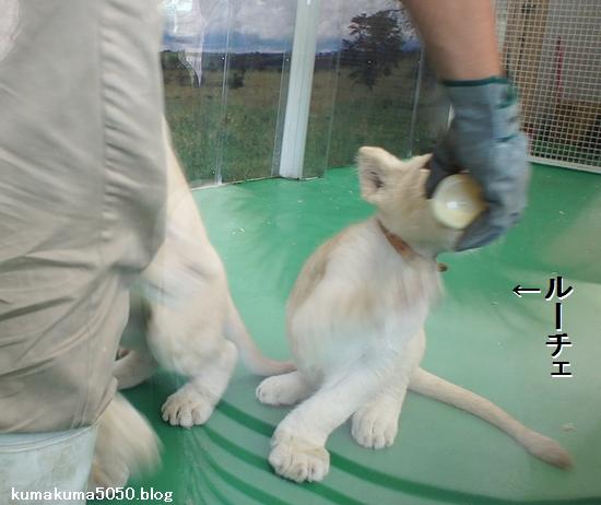 ホワイトライオンの赤ちゃん_6