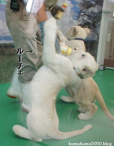 ホワイトライオンの赤ちゃん_5