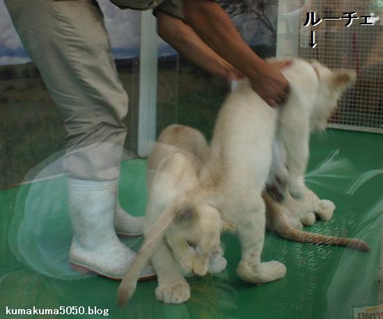 ホワイトライオンの赤ちゃん_13
