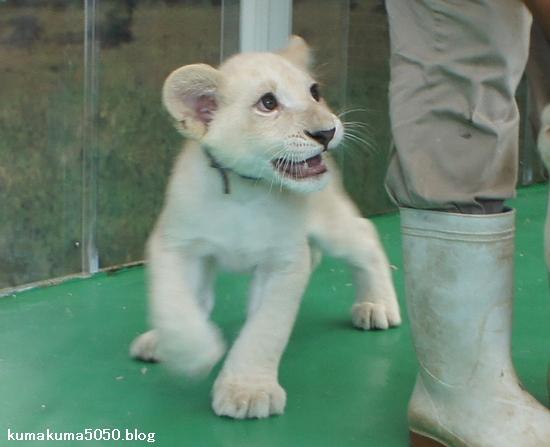 ホワイトライオンの赤ちゃん_11