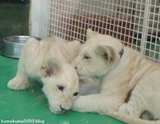 ホワイトライオンの赤ちゃん_17