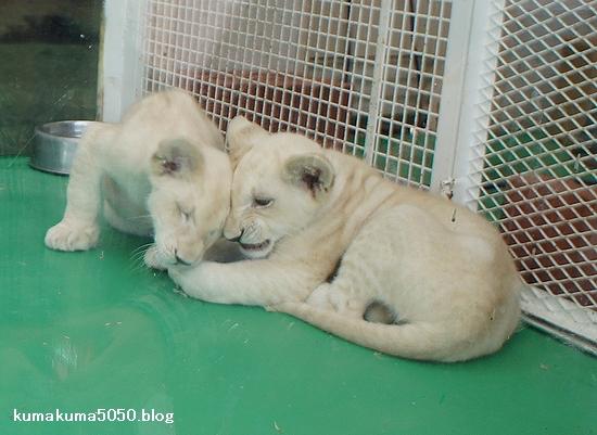 ホワイトライオンの赤ちゃん_16