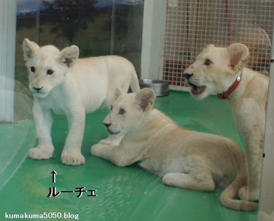 ホワイトライオンの赤ちゃん_14
