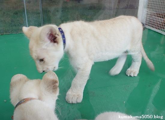 ホワイトライオンの赤ちゃん_22
