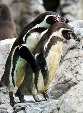フンボルトペンギン07