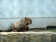 asahiyamadobutsuen_capybara_s.jpg