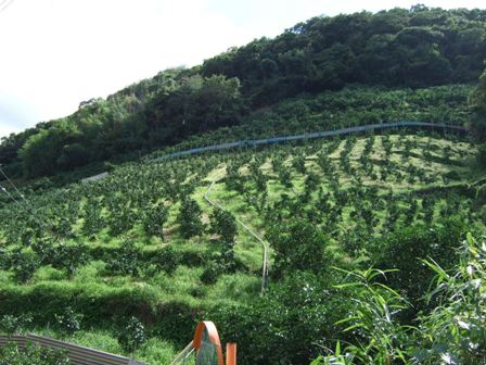 草生栽培の畑