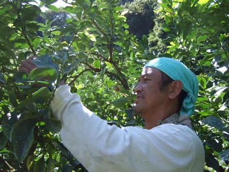 レモンのサンプル収穫中のMAKOTO
