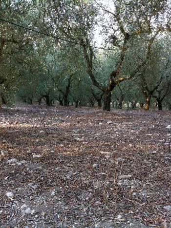 オルチョ畑
