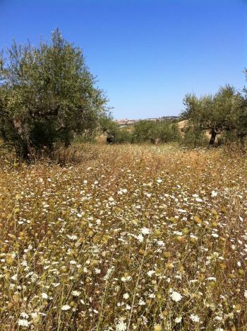 アキレーア一面の畑