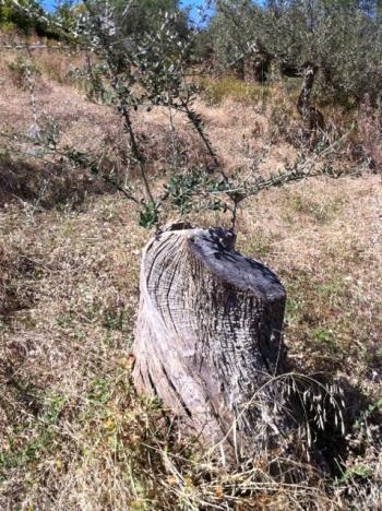 アサクラ農園のオリーブの木