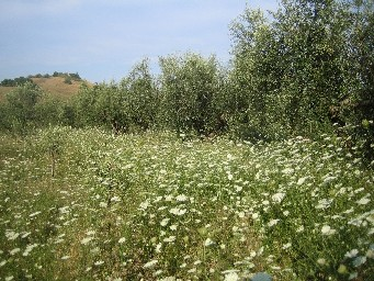 20110813オリーブ畑下草