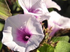 サツマイモの花①