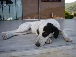 3jul2010 イグメニッツァ港にいた犬
