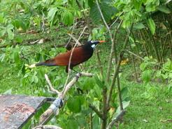 11mar2011 名前を忘れたけどカラスくらいの大きさで鳴き声の面白い鳥