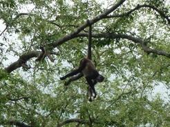 20mar2011 木の上ではこの通り 尻尾を手のように使えるって便利だな