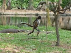 20mar2011 驚愕なのはこれ、二足歩行するサル
