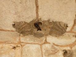 15jun2011 建造物内の天井にはツバメの巣がいっぱい
