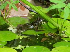 2jul2011 宿の中庭に住んでるカエル