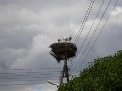 27jul2011 ポーランドではコウノトリをよく見かける