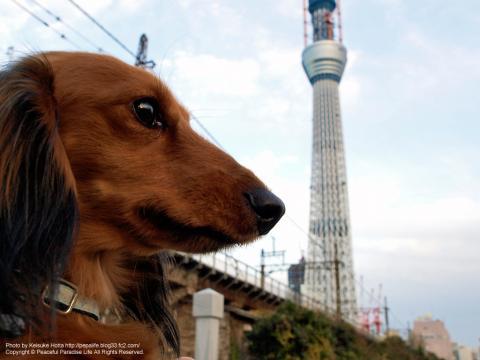 東京スカイツイリーと犬