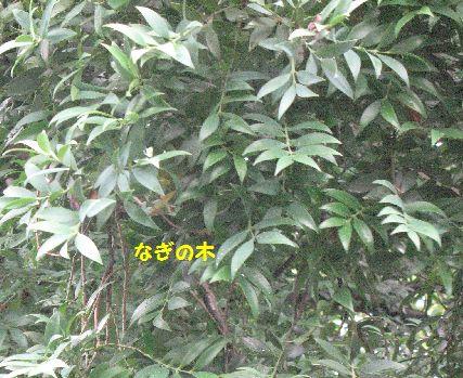 IMG_2061なぎの木