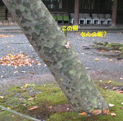 IMG_2070この樹なんの樹