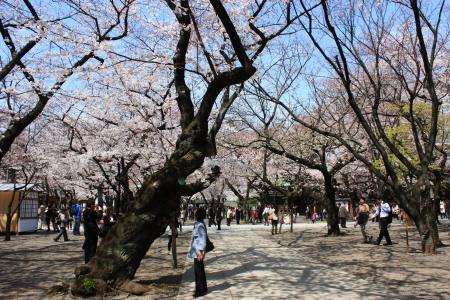 靖国の桜とミルラ母