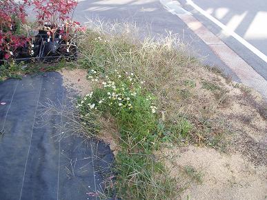 ジャーマンカモミールが咲いています