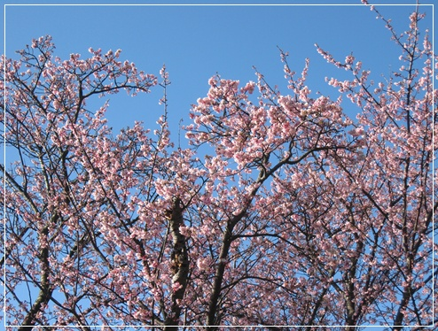 桜が満開!!