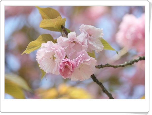 八重桜が満開です!!