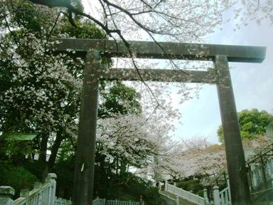 伊勢山皇大神宮と桜とベイスターズ