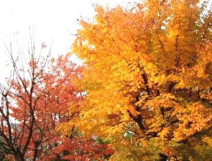 家の前の紅葉